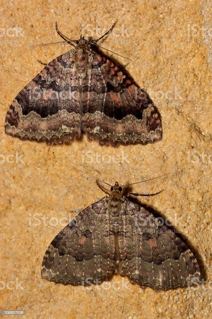 Tissue moths (Triphosa dubitata) over-wintering in cave stock photo