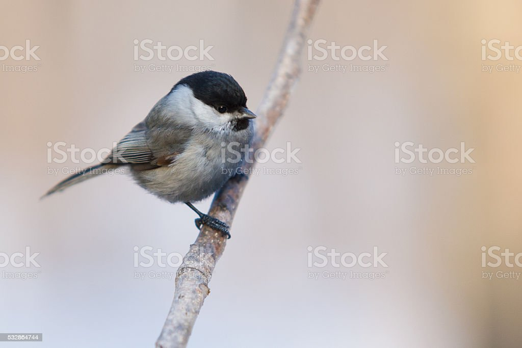 Tit bird on a branch stock photo
