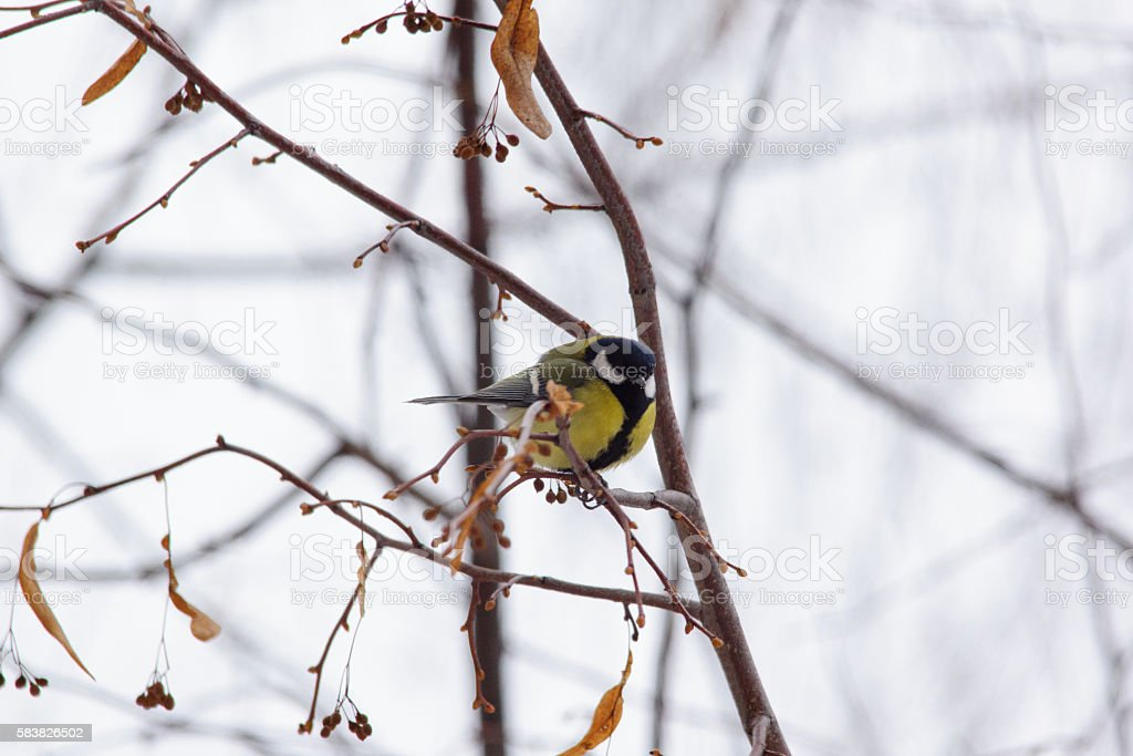 Tit bird on branches stock photo