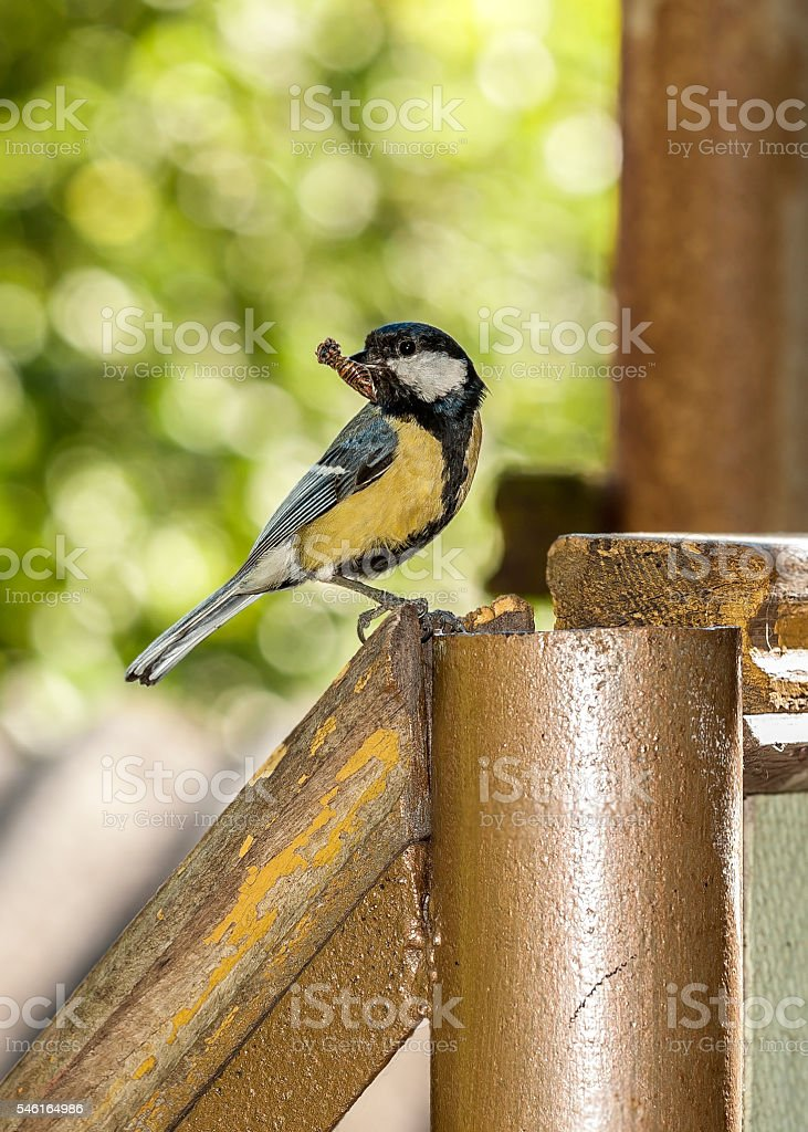 Tit feeding chicks . stock photo