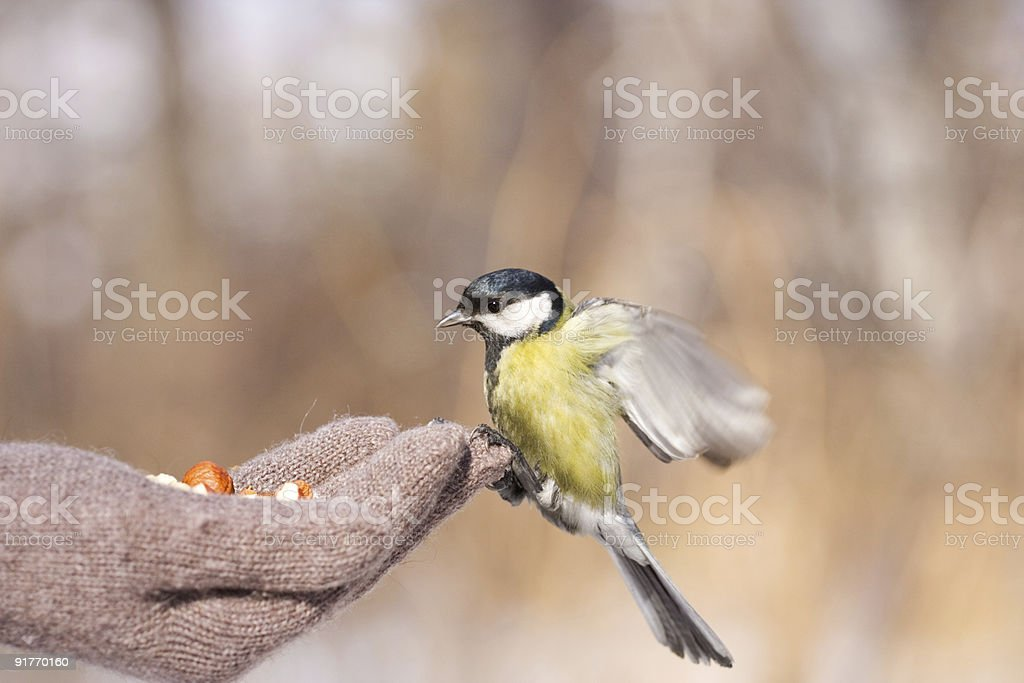 Tit on hand royalty-free stock photo