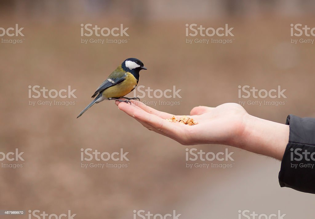 Tit. Open hand and titmouse stock photo