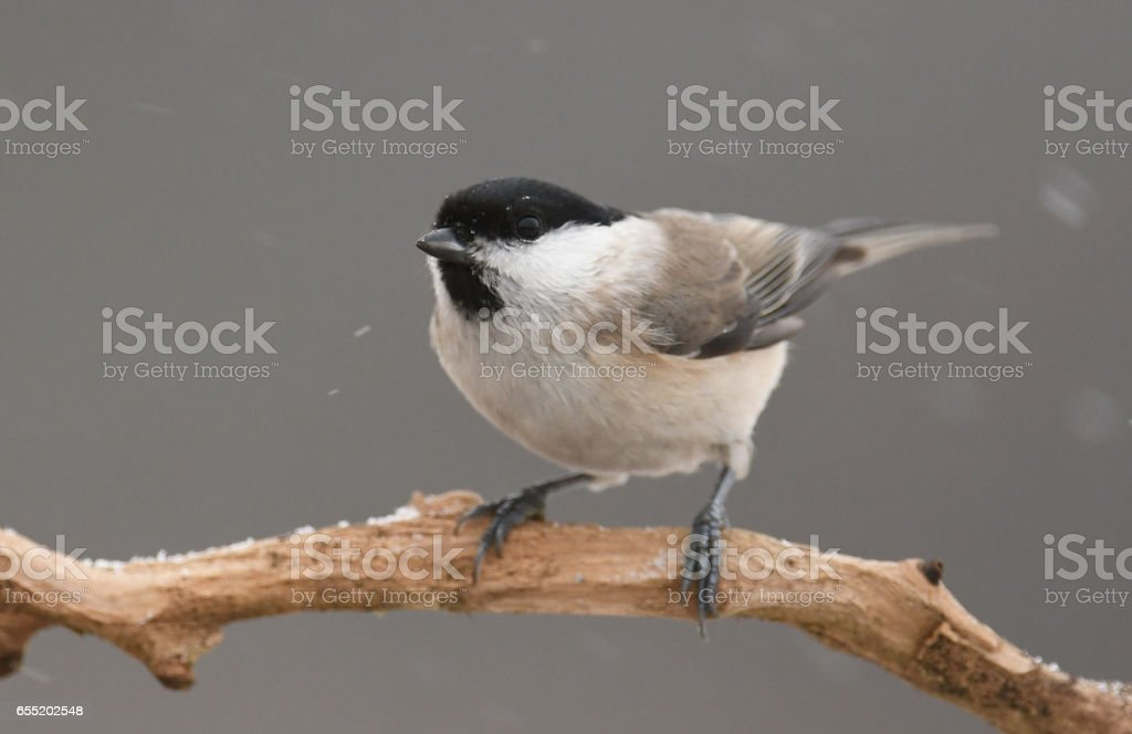Tit stock photo