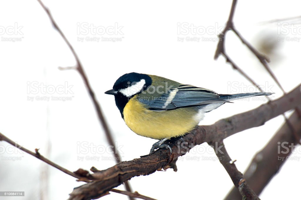 Tit sitting on a branch stock photo