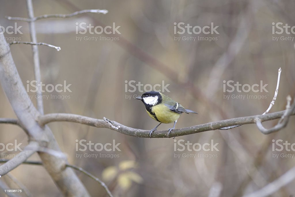 Tit sitting on branch in autumn forest stock photo