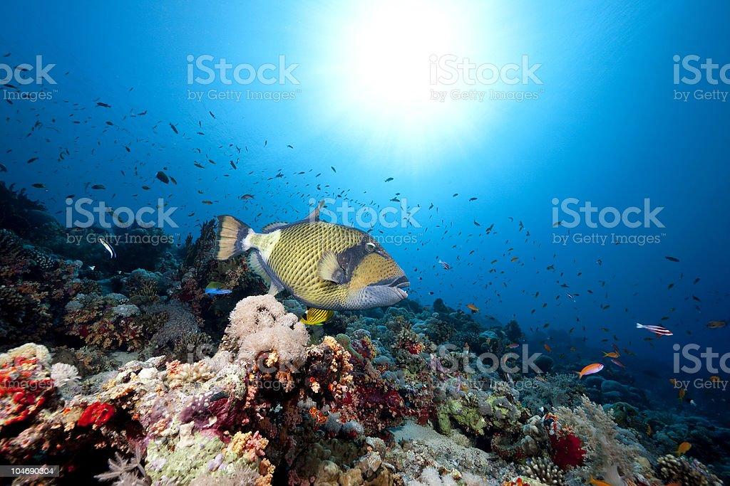 titan triggerfish, ocean and sun royalty-free stock photo