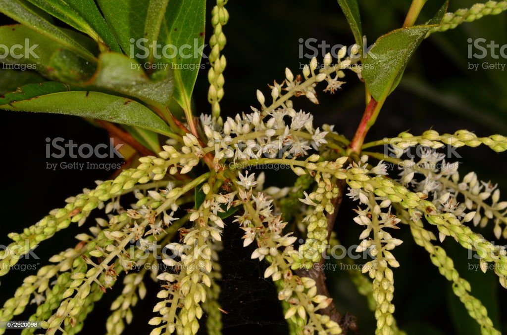 Titi plant flower spikes stock photo