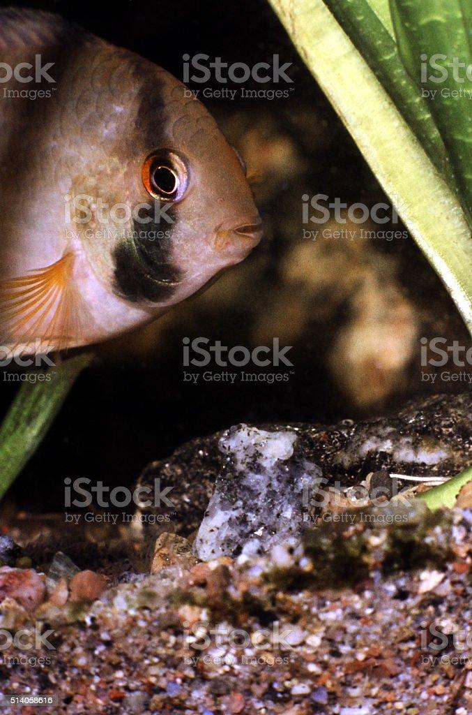 Title: Keyhole Cichlid, Female. Cleithracara Maronii. stock photo