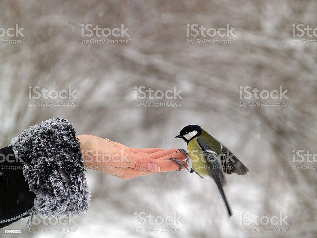 Titmouse bird in hand stock photo