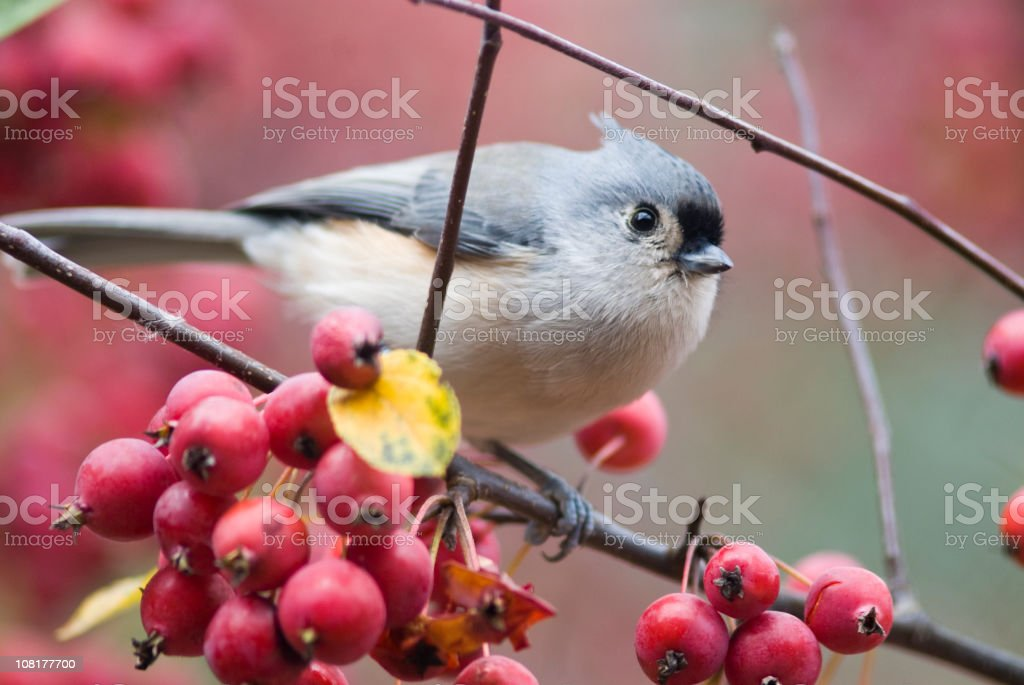 Titmouse Bird Perched on Crabapple Branch stock photo