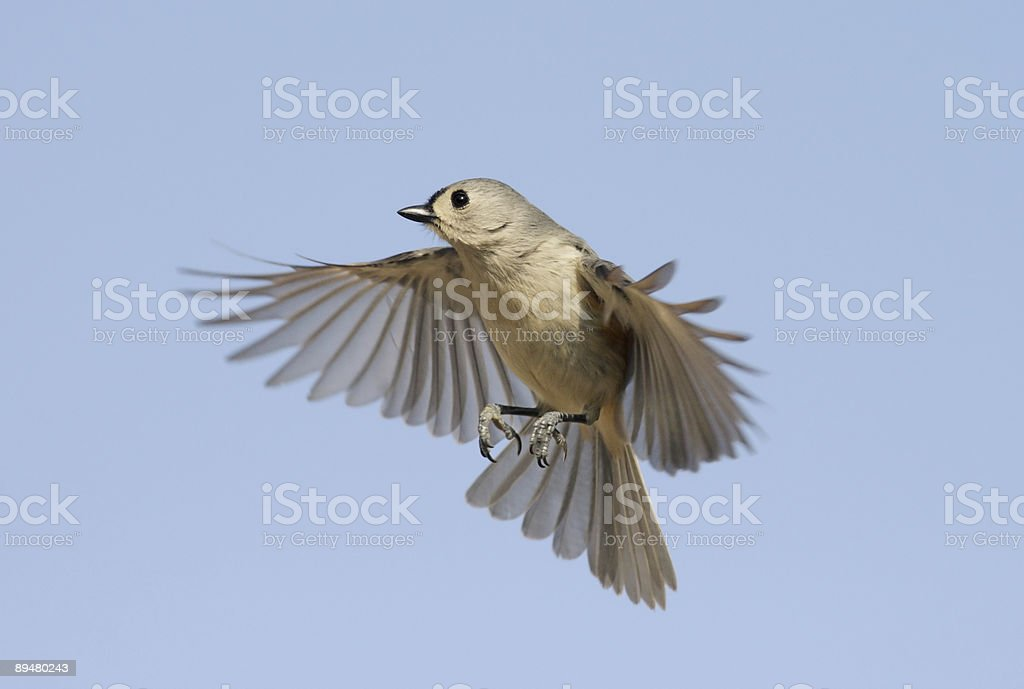 Titmouse in Flight royalty-free stock photo