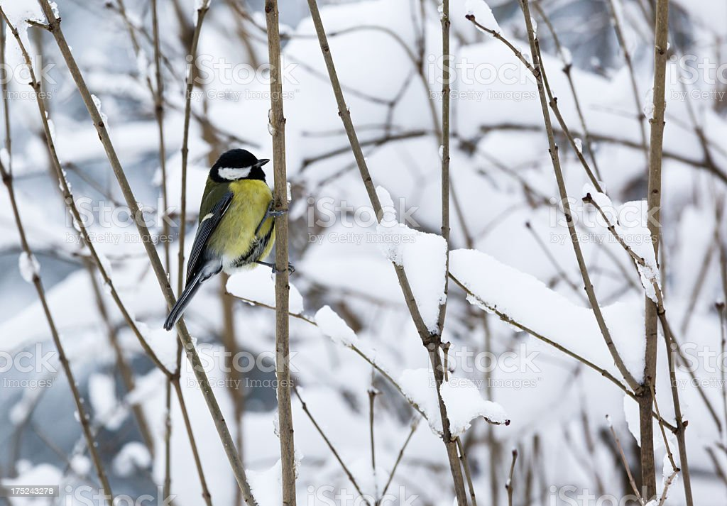 Titmouse on a snowy branch royalty-free stock photo