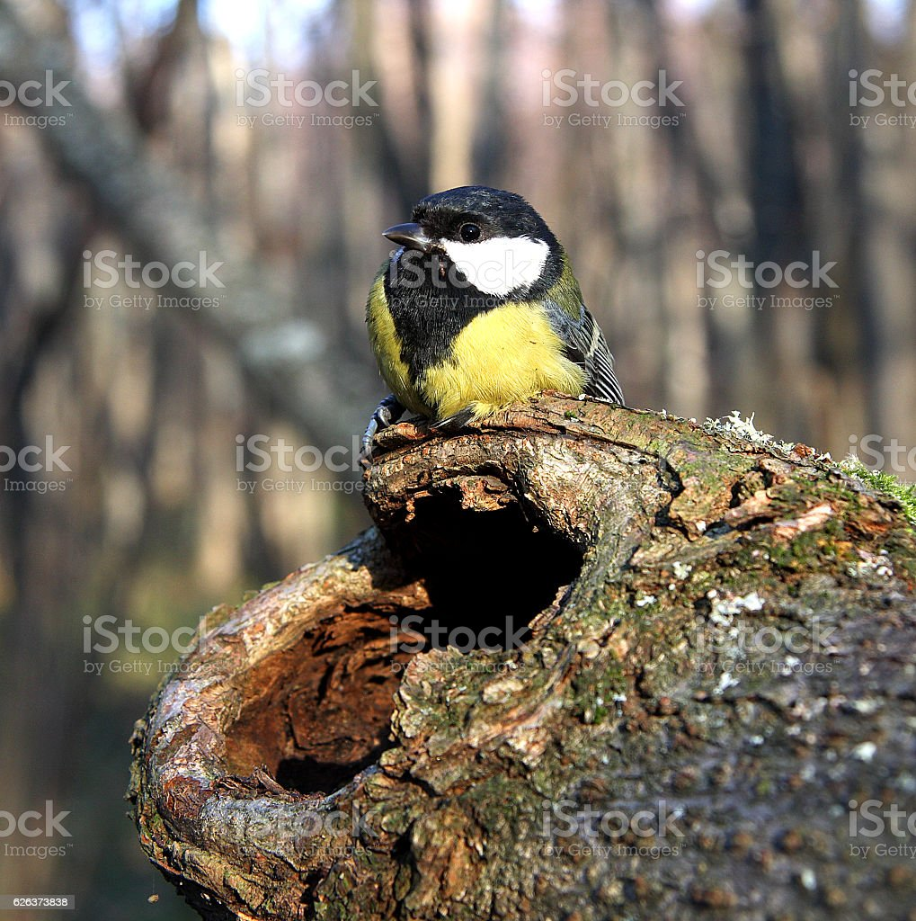 Titmouse royalty-free stock photo
