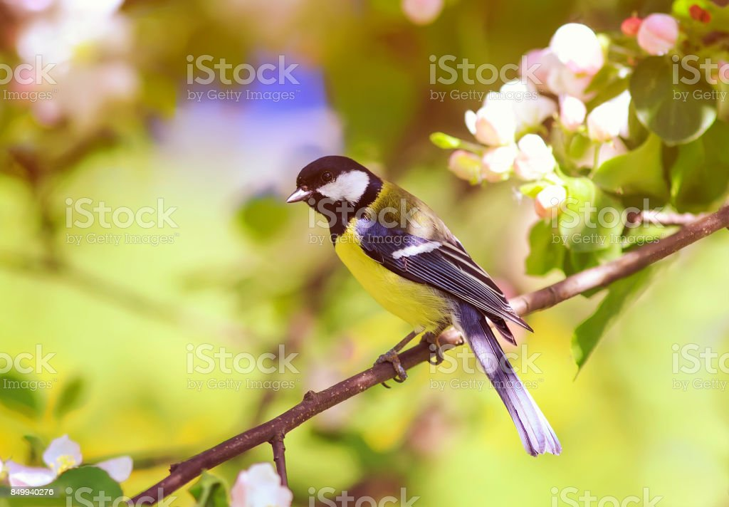 titmouse sitting on a branch of a blossoming Apple tree in spring garden stock photo