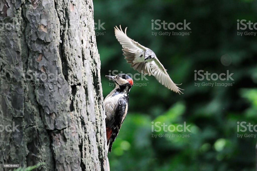 To protect its nest Pied Flycatcher attacks Great Spotted Woodpecker stock photo