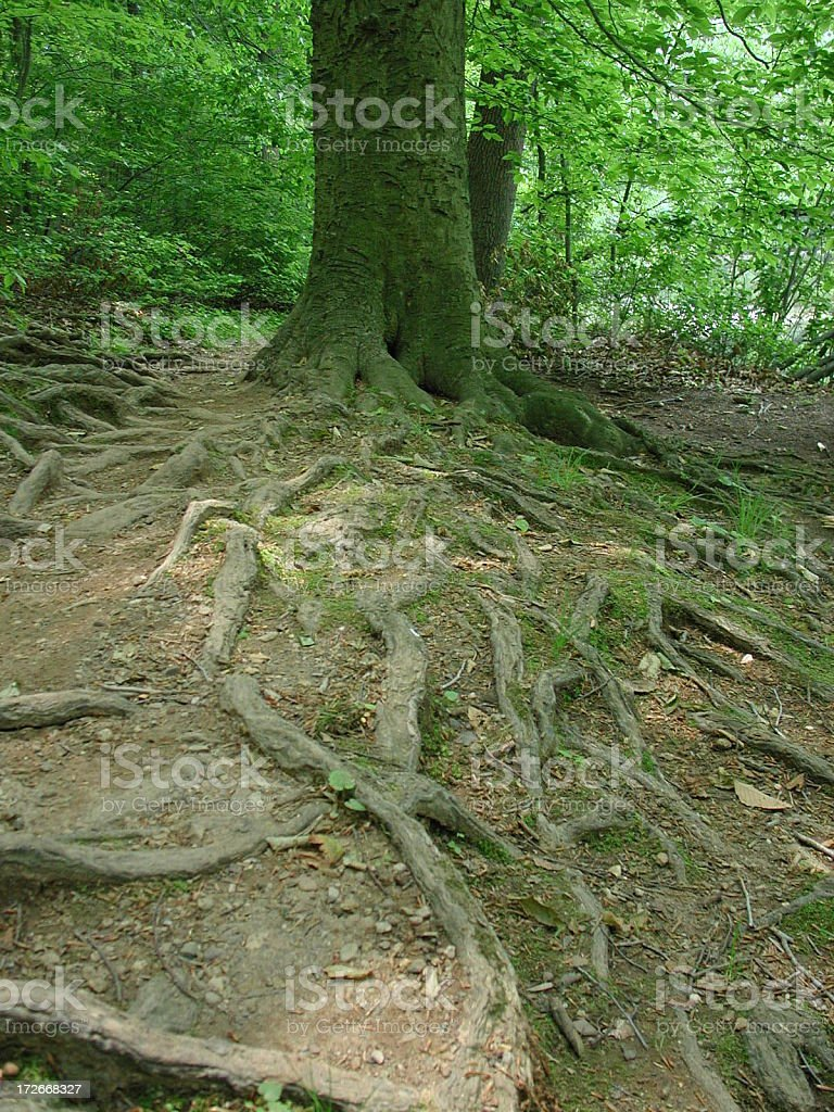 To the roots royalty-free stock photo