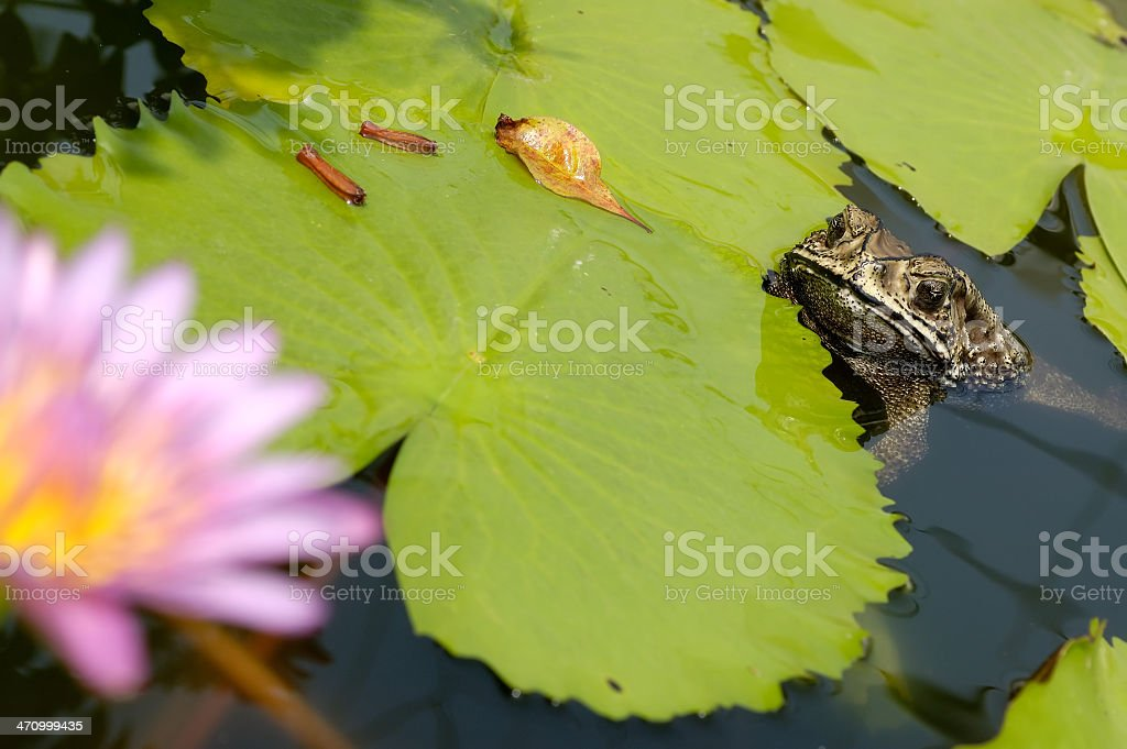 Toad and Water Lily royalty-free stock photo