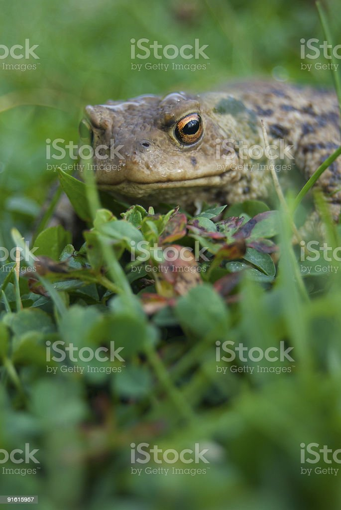 toad hiding in grass stock photo