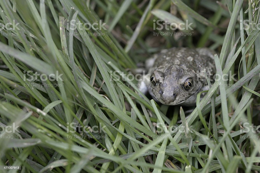 Toad in a grass royalty-free stock photo
