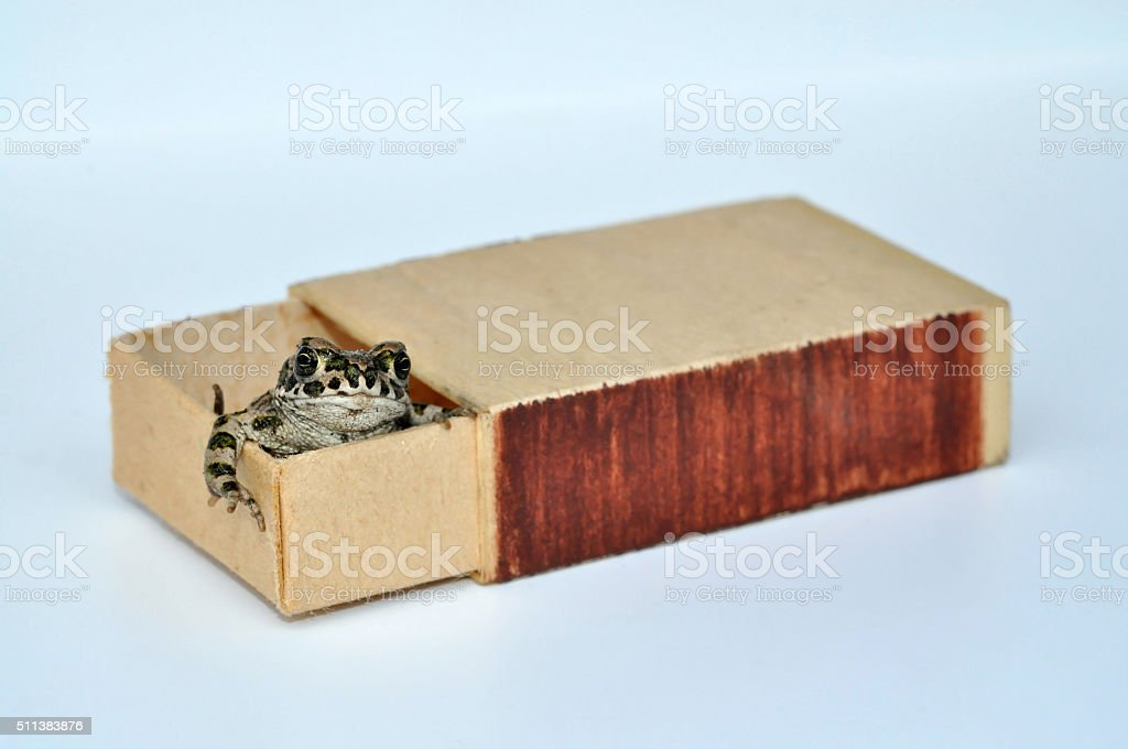Toad in a matchbox stock photo