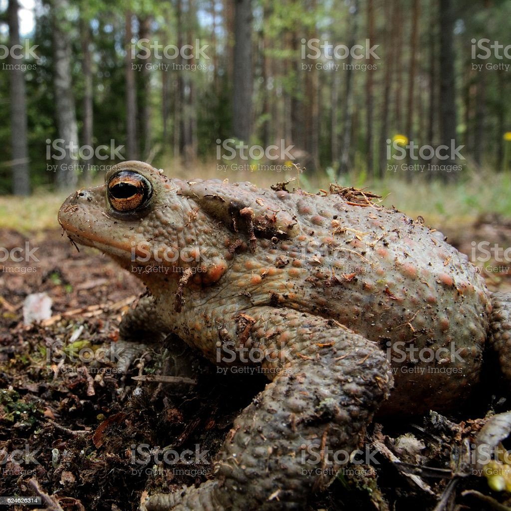 Toad in close-up stock photo