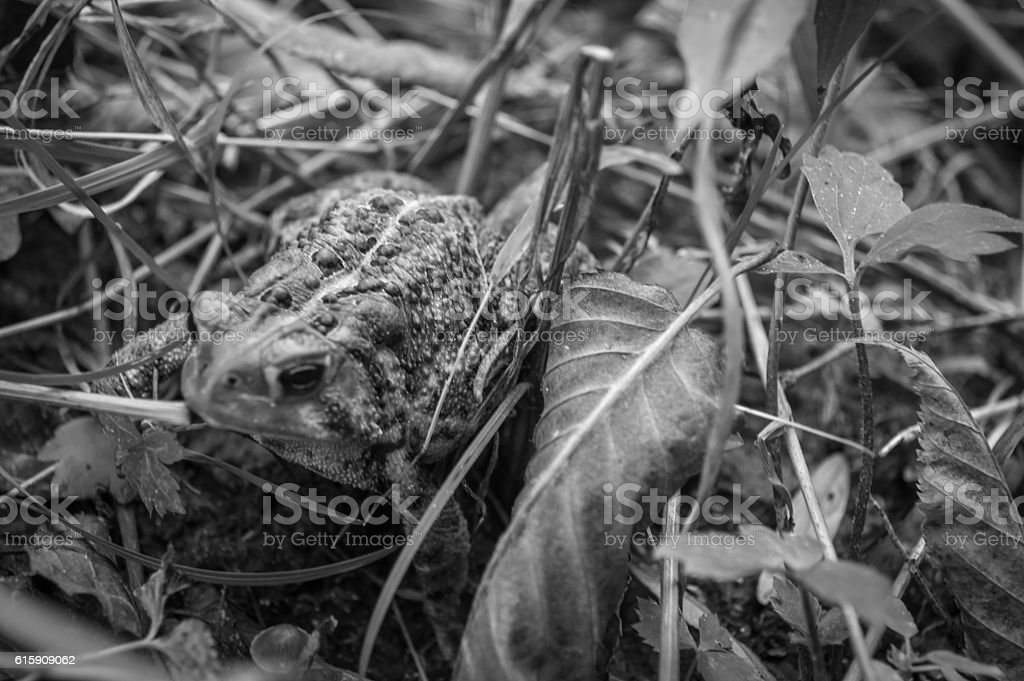 Toad in Grass stock photo