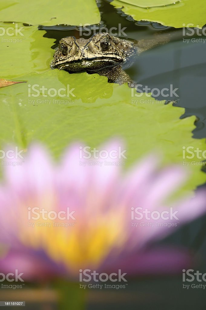 Toad in Pond royalty-free stock photo