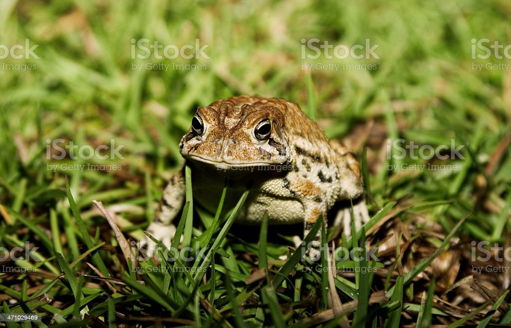 Toad in the Grass royalty-free stock photo