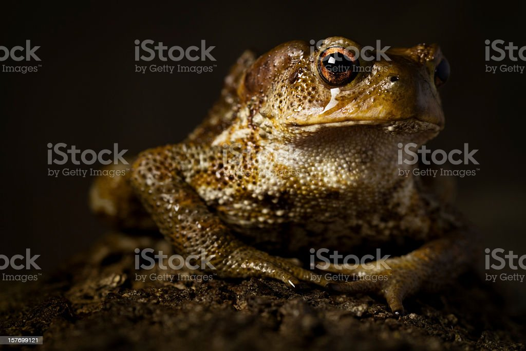 Toad like a Dinosaur on Black Background stock photo