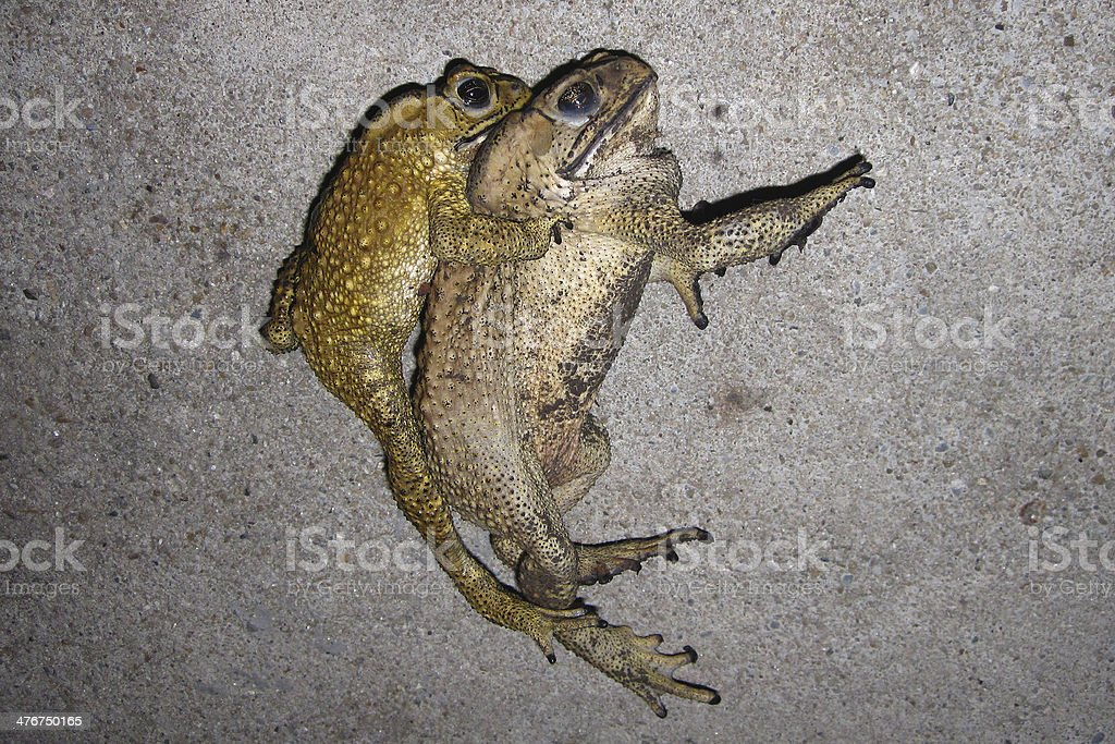 toad mating sex in nature royalty-free stock photo