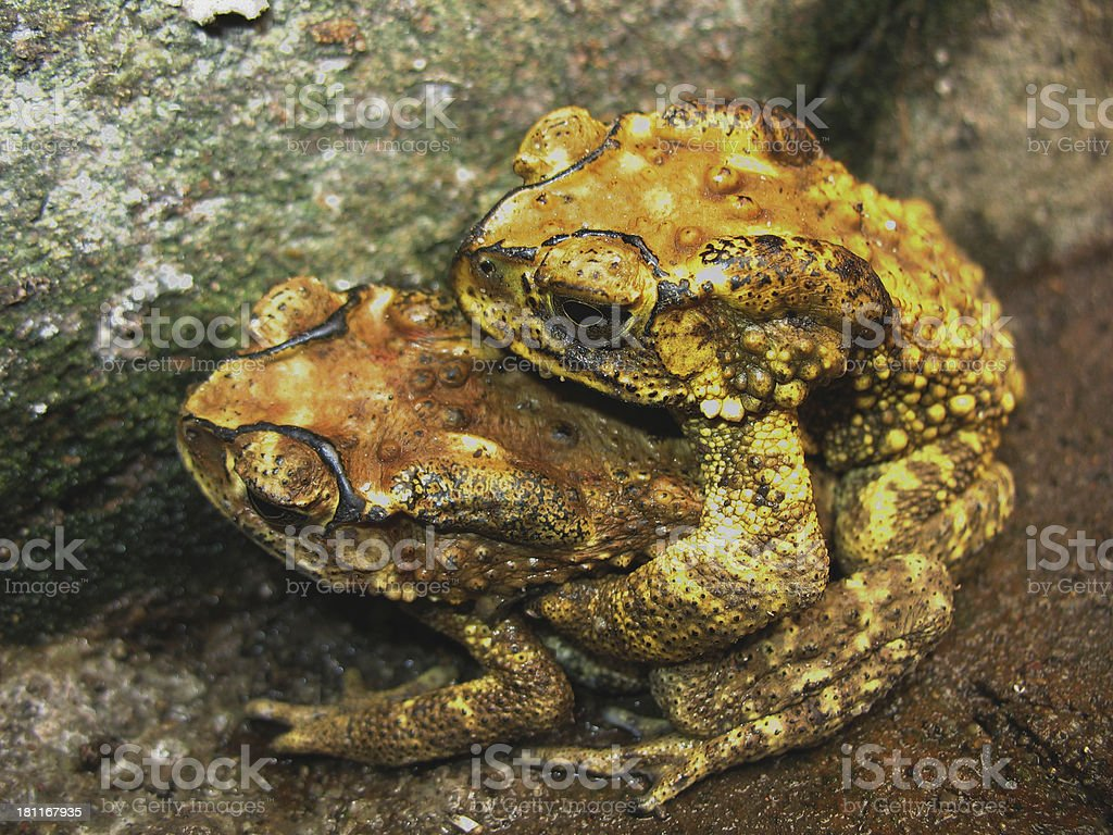 toad mating sex royalty-free stock photo