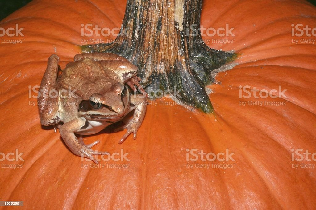 Toad on the Pumpkin royalty-free stock photo