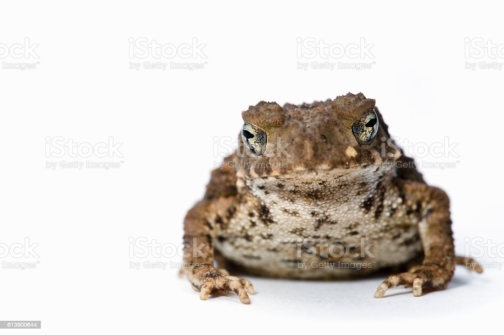 Toad on white background stock photo