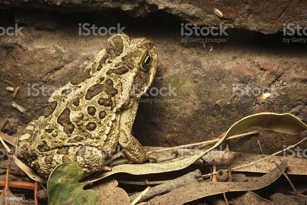 Toad ( Rhinella arenarum ) royalty-free stock photo