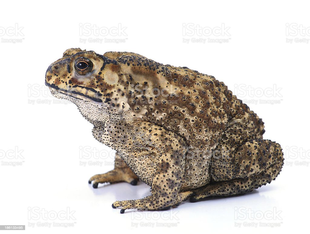 Toad stock photo