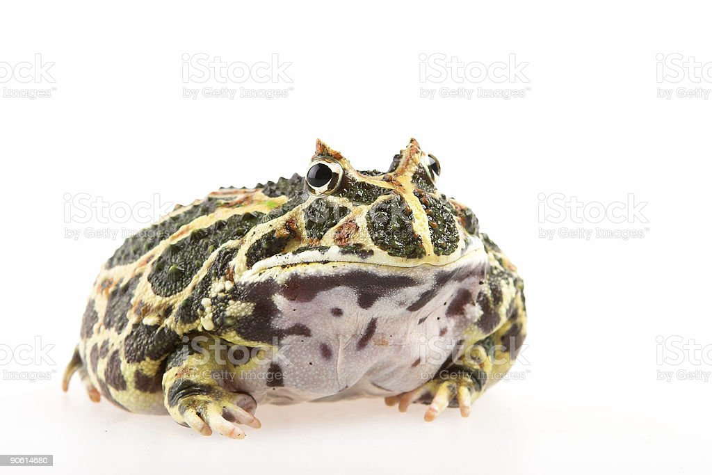 Toad royalty-free 스톡 사진