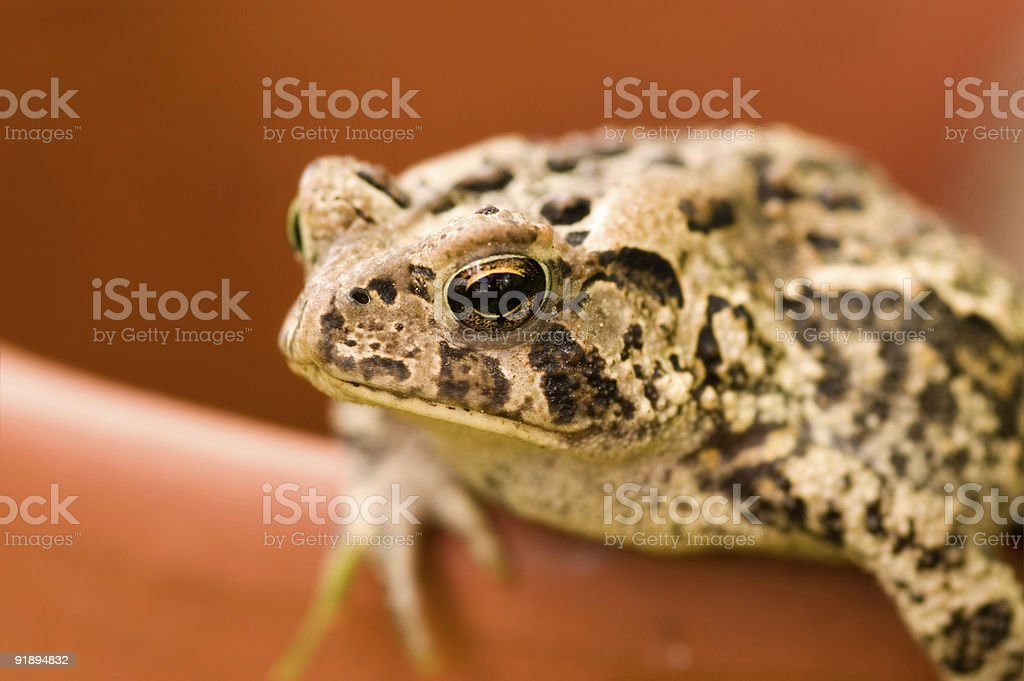 Toad royalty-free stock photo