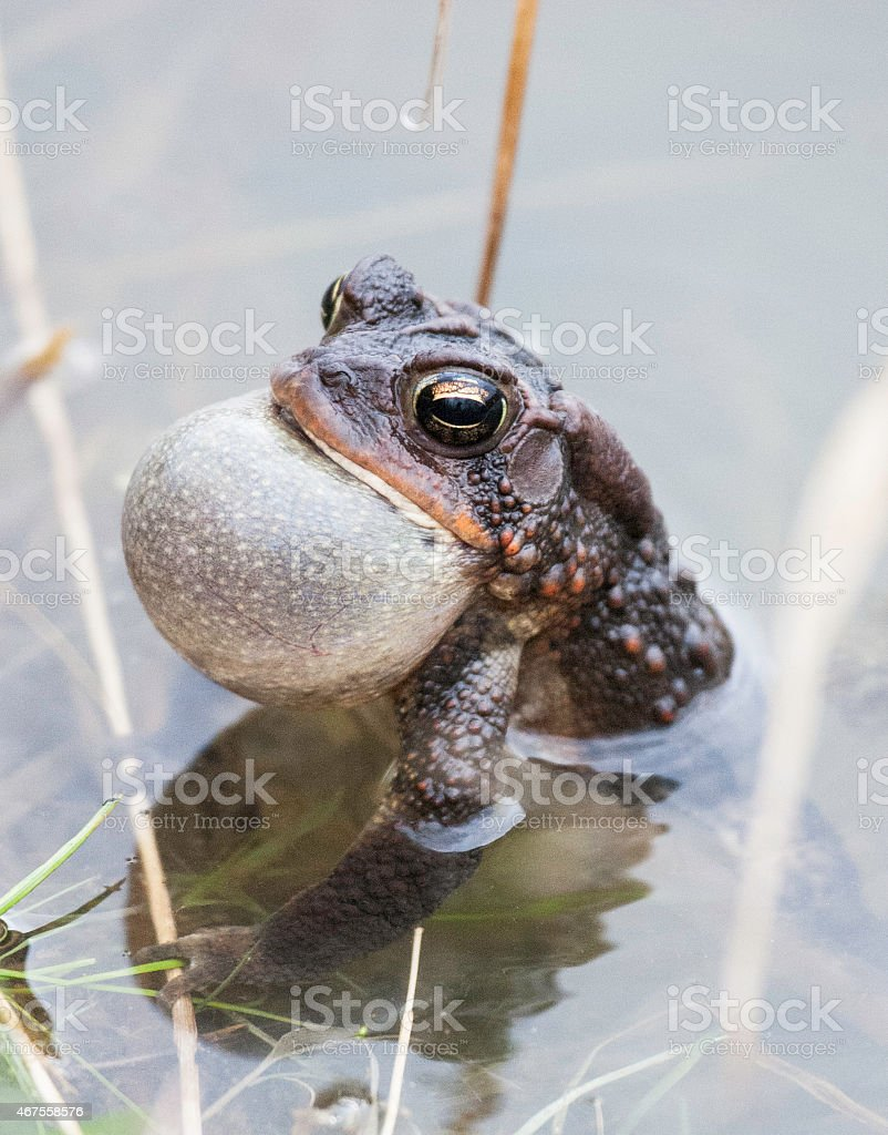 Toad Singing a Love Song stock photo