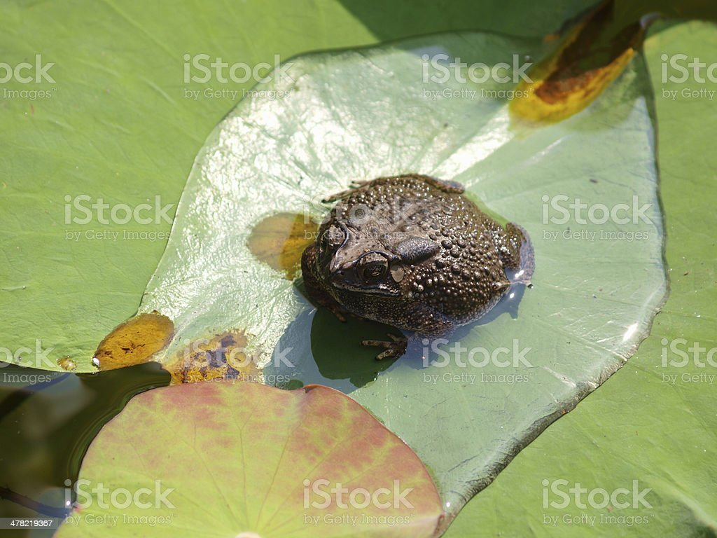 Toad sitting on leaf of water lily stock photo