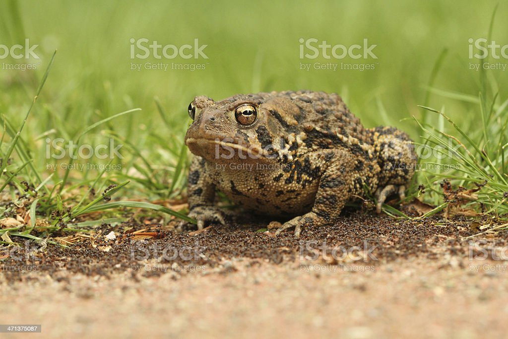Toad surrounded by ants - 'Utoadpia' royalty-free stock photo