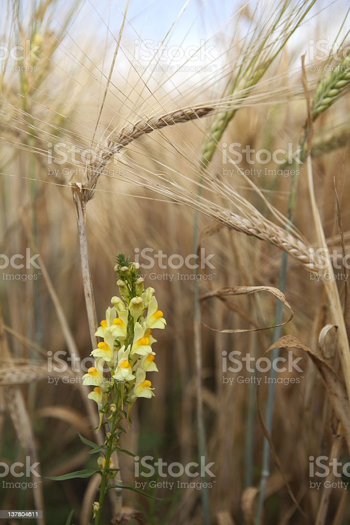 Toadflax in Barley Crop royalty-free stock photo