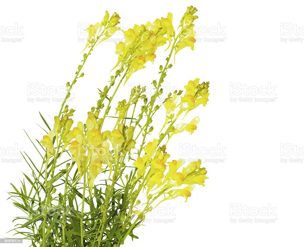 Toadflax royalty-free stock photo