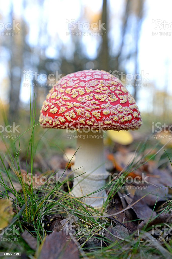 Toadstool, close up of a poisonous mushroom in the forest. stock photo