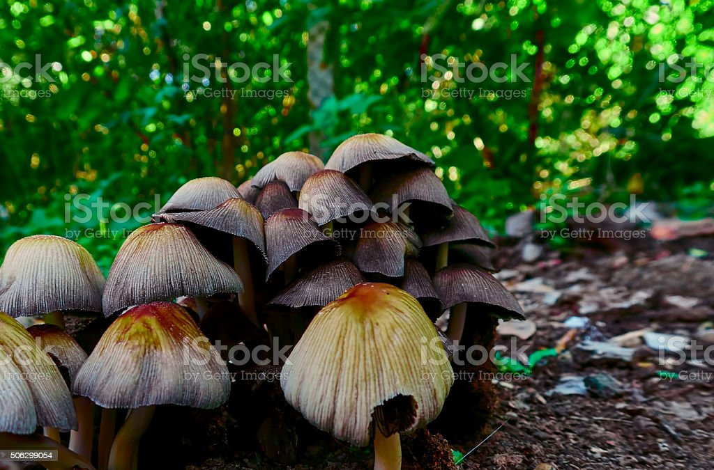 toadstool mushrooms royalty-free stock photo