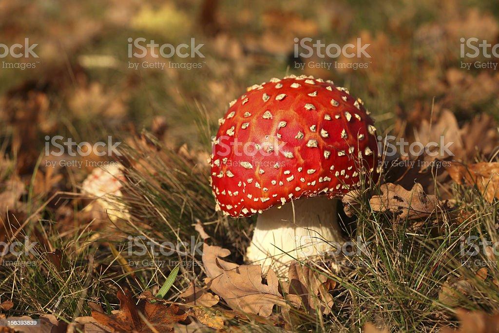 Toadstool or fly agaric mushroom royalty-free stock photo