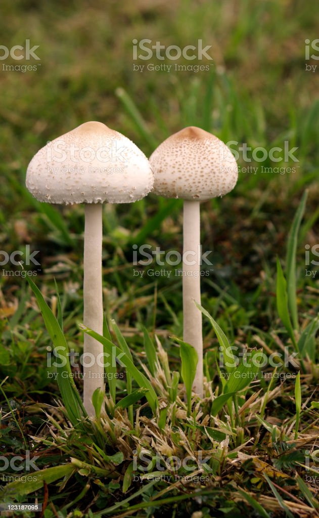 Toadstools in the Grass stock photo