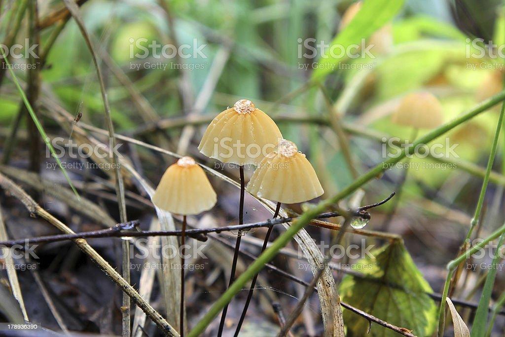 Toadstools (marasmiellus) royalty-free stock photo