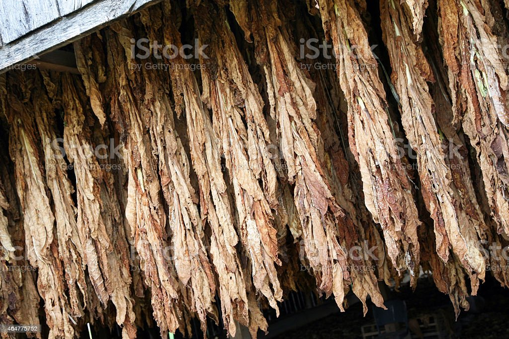 Tobacco aging in a barn stock photo