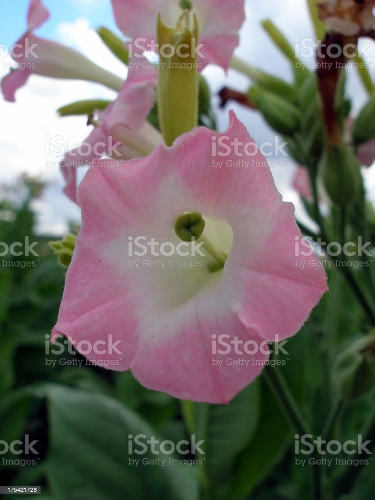 tobacco bloom royalty-free stock photo