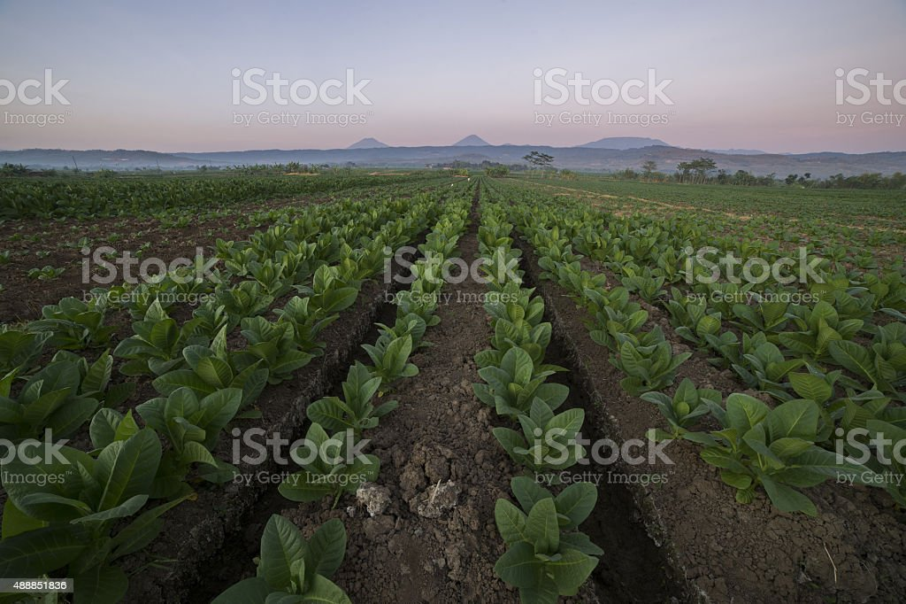 Tobacco Crop in Indonesia stock photo
